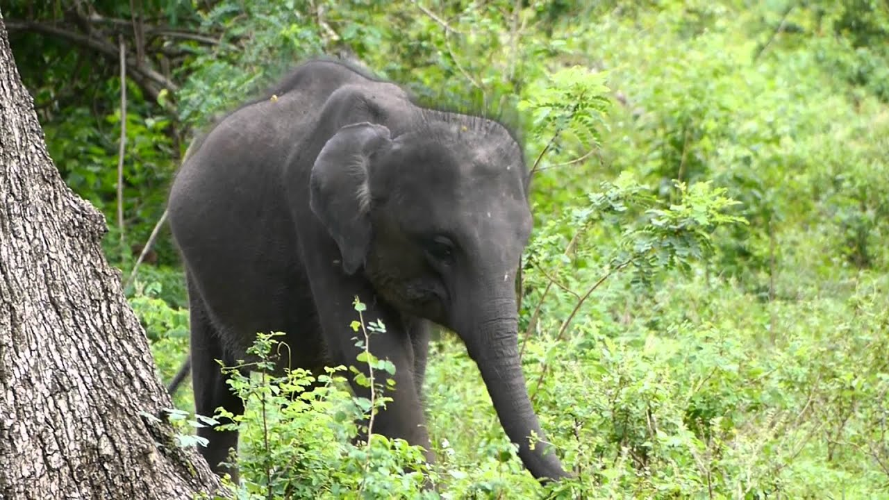 Six Months Old Baby Elephant Eating Youtube
