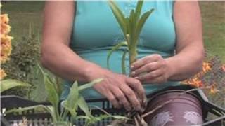 Flower Bulbs : How To Keep An Amaryllis Bulb Blooming