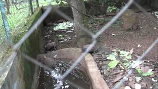 Repeat youtube video LION AT YAOUNDE ZOO, CAMEROON