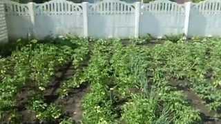 Как подвязать помидоры (Способ 1)(В этом видео-уроке, показан один из способов подвязки помидоров (томатов). Моя партнерская программа VSP..., 2015-07-03T08:42:23.000Z)