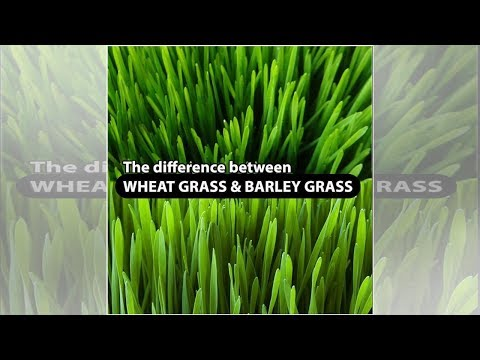 Get to Know the Differences Between Wheat Grass and Barley Grass