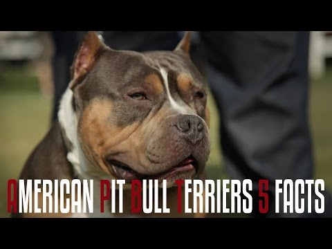 American pit bull terriers 5 facts you should know youtube