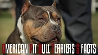 American Pit Bull Terriers - 5 Facts  You Should Know