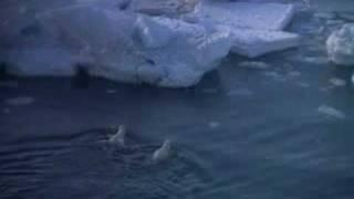 Noordpool - De ijsbeer - klimaatgetuige
