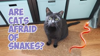 Boo Year 2 # 197 - Are Cats Afraid Of Snakes? Will Hydrox Play With A Laser Pointer?