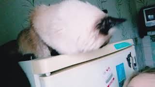 Кошка обыкновенная, домашняя. Сиамская пушистая