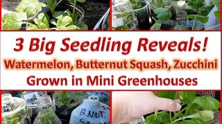 3 Big Seedling Reveals - Watermelon, Butternut Squash, Zucchini Grown in Mini Greenhouses