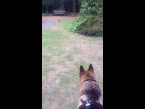 angry German shepherd, barking and growling at cat