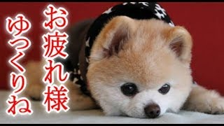 ポメラニアン「俊介くん」死す…ネット悲しみにくれる・・・ 俊介くん 検索動画 3