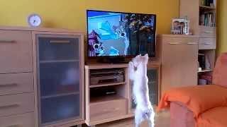 Westie Ogląda Telewizję