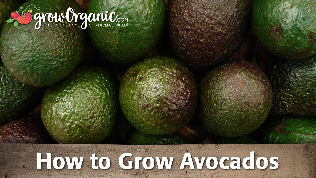 how to grow organic avocados - Grow An Avocado