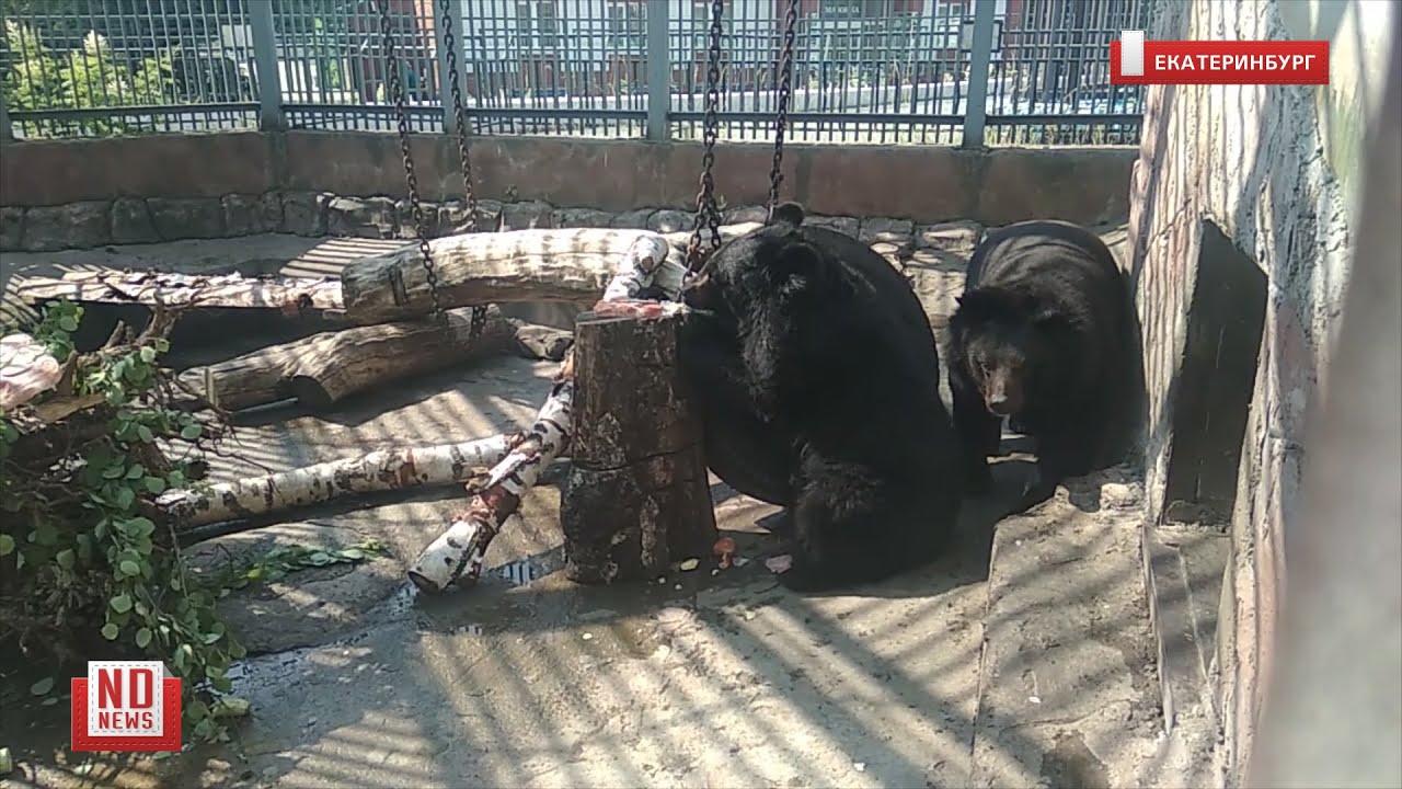 Медведей кормят мороженым, чтобы спасти от жары