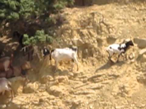 Kos, Greece - Goats Kos with bells clinking