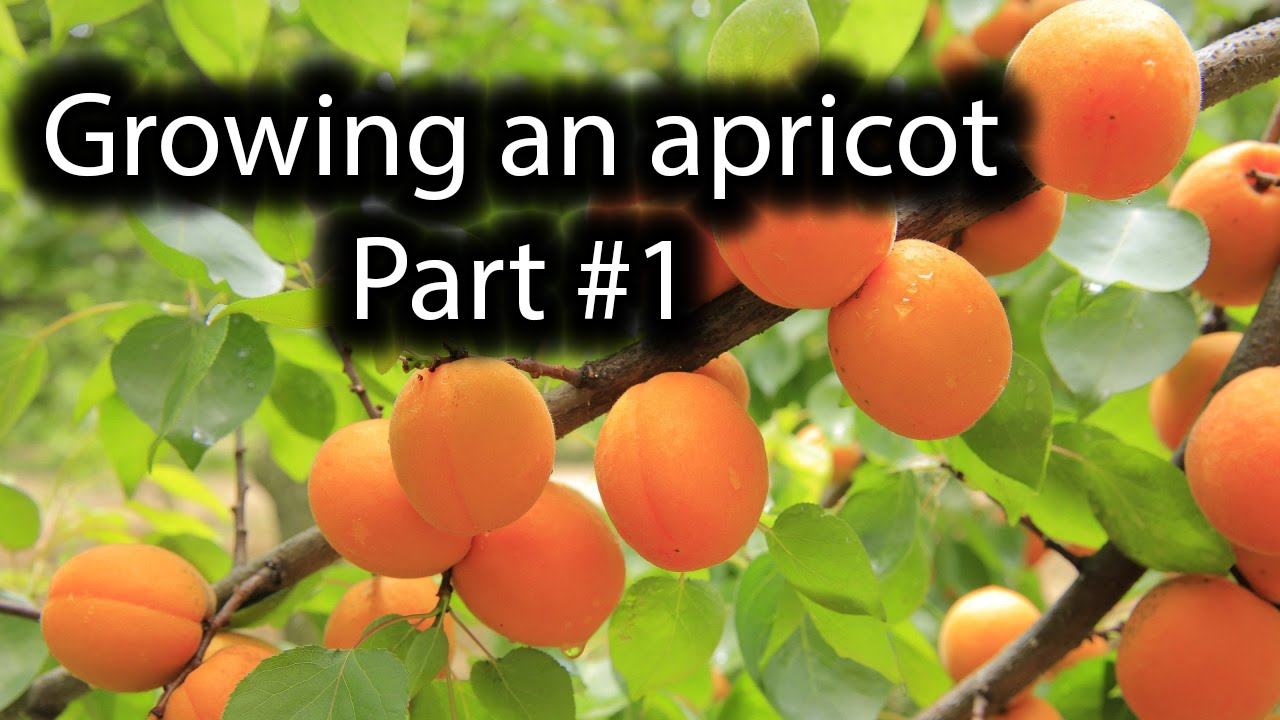 how to grow a apricot tree