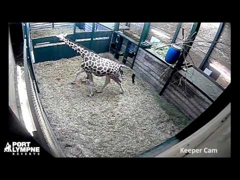 Thumbnail: Birth of Port Lympne's new baby giraffe captured on Keeper Cam