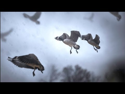 Goose Hunting A LOADED Corn Field!!!