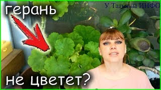 Не цветет герань?! Как заставить цвести пеларгонию?!