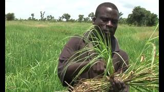Weeds invades Rice Fields in East Gonja District In Northern Ghana 13