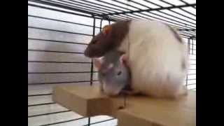 Cuddling rats - cutest pillow ever