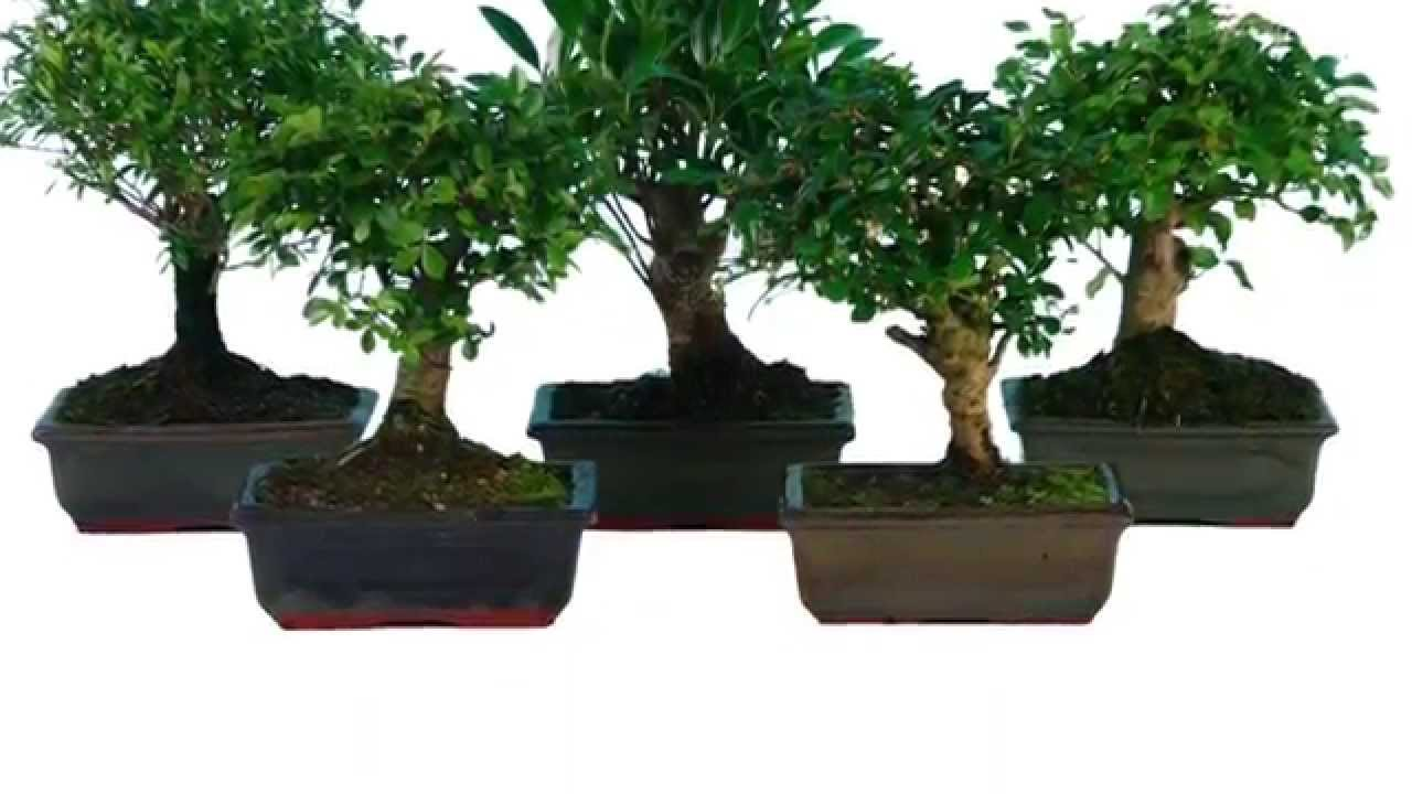 Vendita bomboniere bonsai gli alberi in miniatura nad for Bonsai in vendita online