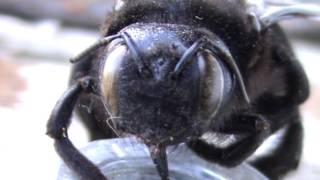 чёрный шмель Пчела плотник