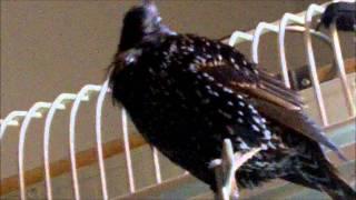 Mr T the talking Starling