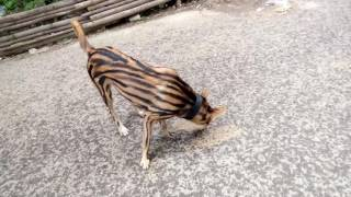 Hilarious Tiger Dog / Dog painted tiger stripes