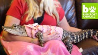 the-world-s-most-pampered-alligator-teaser