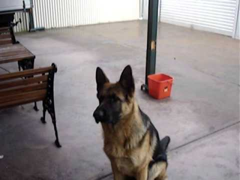 8-month-old-german-shepherd-sam-training-session
