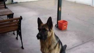 8 month old German Shepherd Sam Training Session