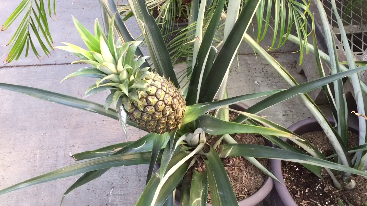 Pineapple plant in a pot youtube for How to plant a pineapple top in a pot