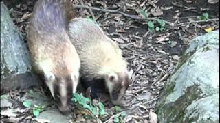 Japanese Badger cub and mom.ニホンアナグマ母子。 Inokasira Park Zoo...