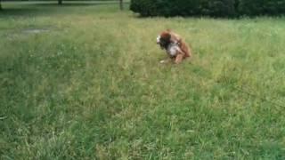 4ヶ月のチベタンテリアのティティーがお散歩デビューしました!ボールを...