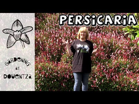 Persicaria Care, How to Grow Knotweed : 13 of 30, my month of perennials