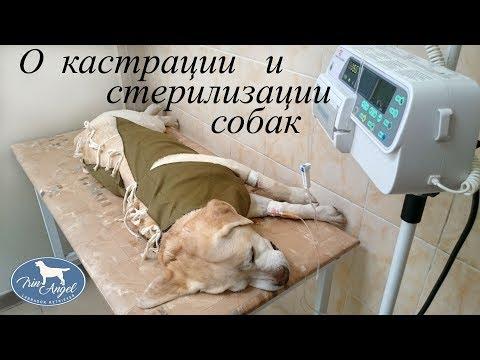 Кастрация и стерилизация собак. Плюсы и минусы.