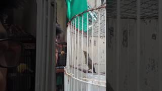 Konin / Kolibri Ninja jinak , gacor banget . Milik CinSs