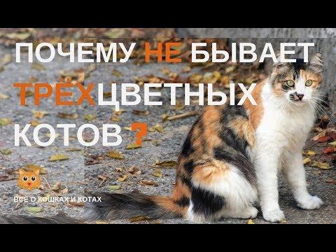 Черепаховый окрас трёхцветных кошек.Или почему нет трёхцветных котов?