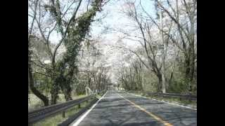 SAKURA-cherry blossoms