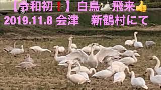 【令和初❗️】白鳥🦢飛来👍 2019.11.8 白鳥 令和初 会津 新鶴村 AIZUチャンネル