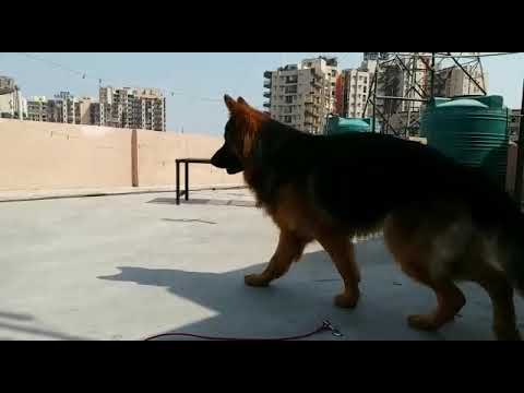Anmol kennels German Shepherd puppies available at Ludhiana Punjab mobile no 9915031056