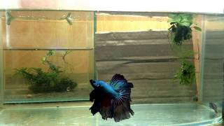 Betta fish breeding activity