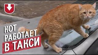 Кот-таксист гуляет по капоту авто прямо на ходу: необычное видео из Харькова