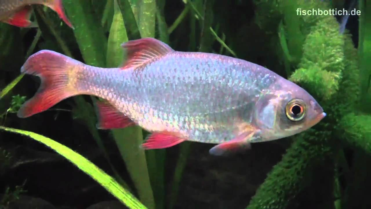 Hd my rudd in the cold water fish tank rotfedern im for What are cold water fish