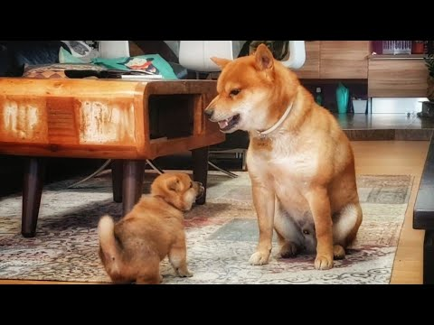 AMGERY daddo / Shiba Inu puppies (with captions)
