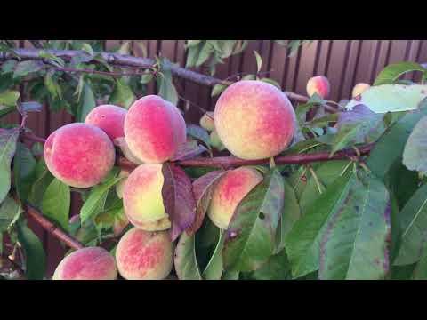 Вопрос: Какие сорта персиков лучше сажать на дачном участке?