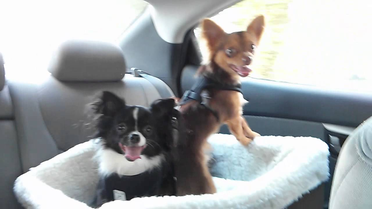 The Chihuahua Boys In Their New Car Seat