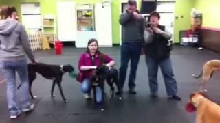 Greyhoun Playdate Ottawa Canine School