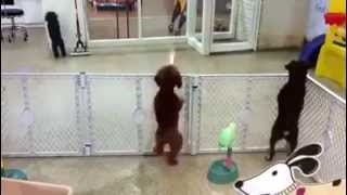 Excited Poodle Spots Its Owner - Then The Dance Begins