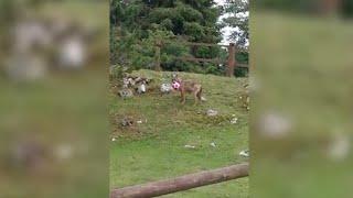Veneto, sono tornati i lupi: uno si avvicina al rifugio degli alpini e gioca con un pallone