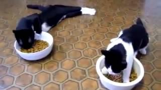 2 кота идут кушать ( В мире животных)